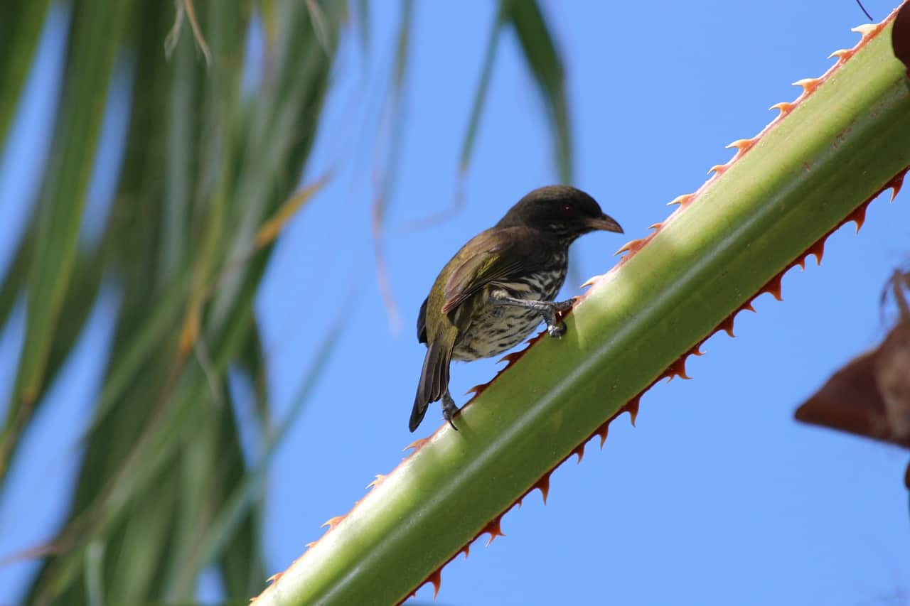 bird, palmchat, dominican republic facts