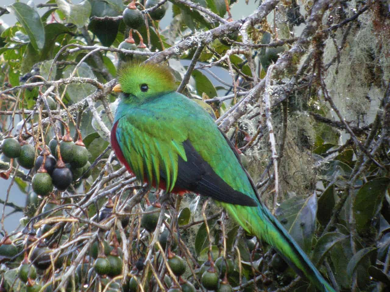 quetzal bird in guatemala