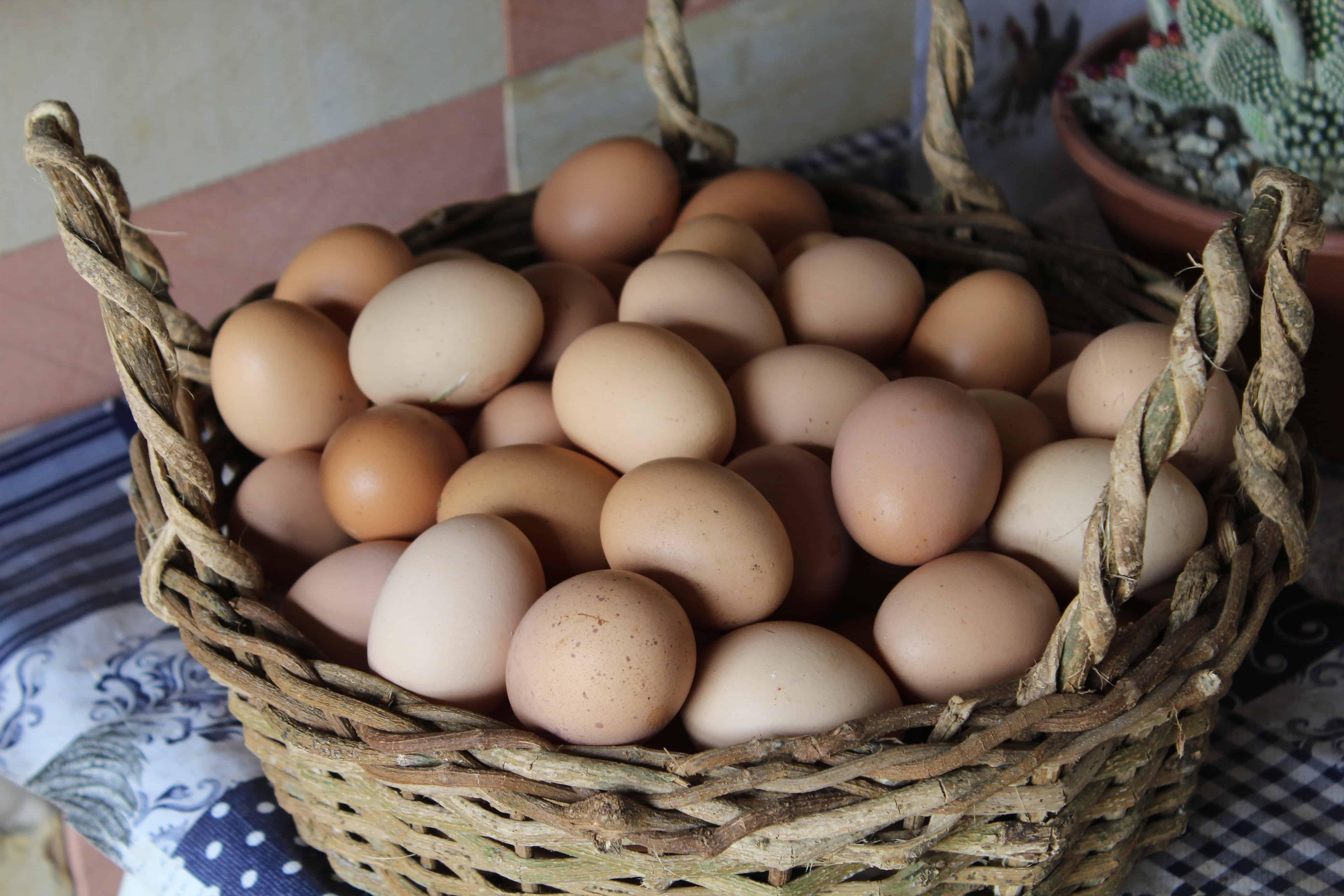 Chicken eggs, chicken facts