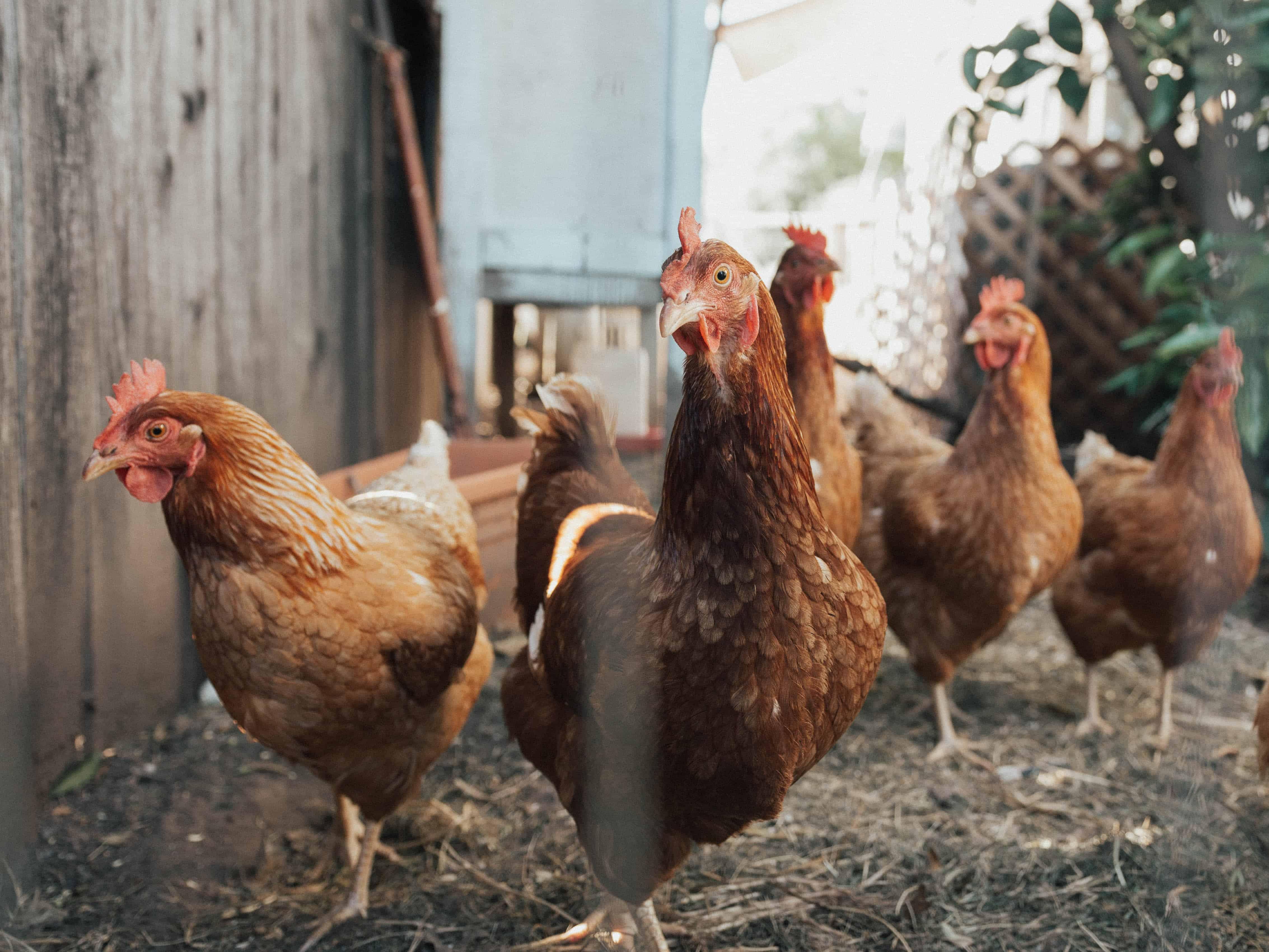 Hens, chicken facts