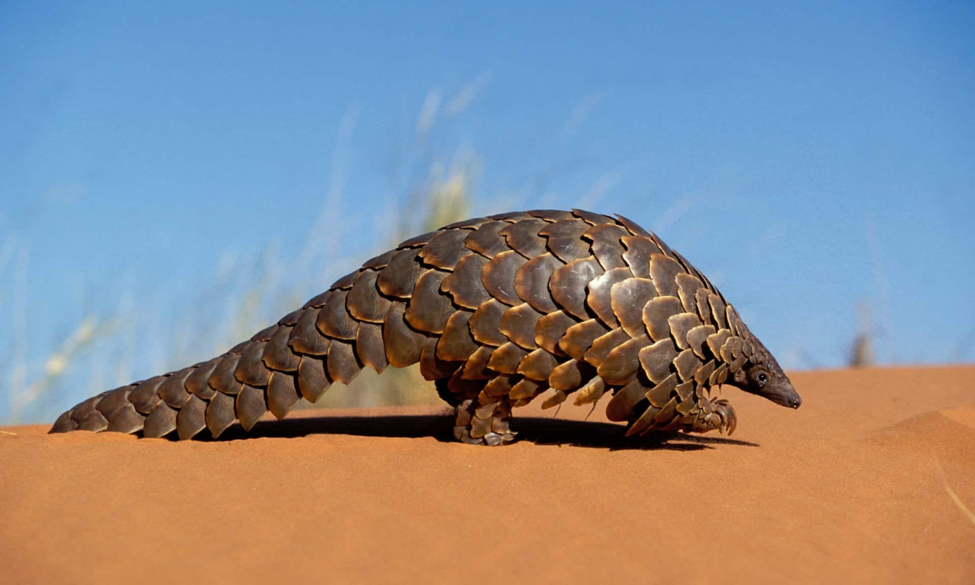 A desert pangolin, with brown scales edged in yellow, pangolin facts