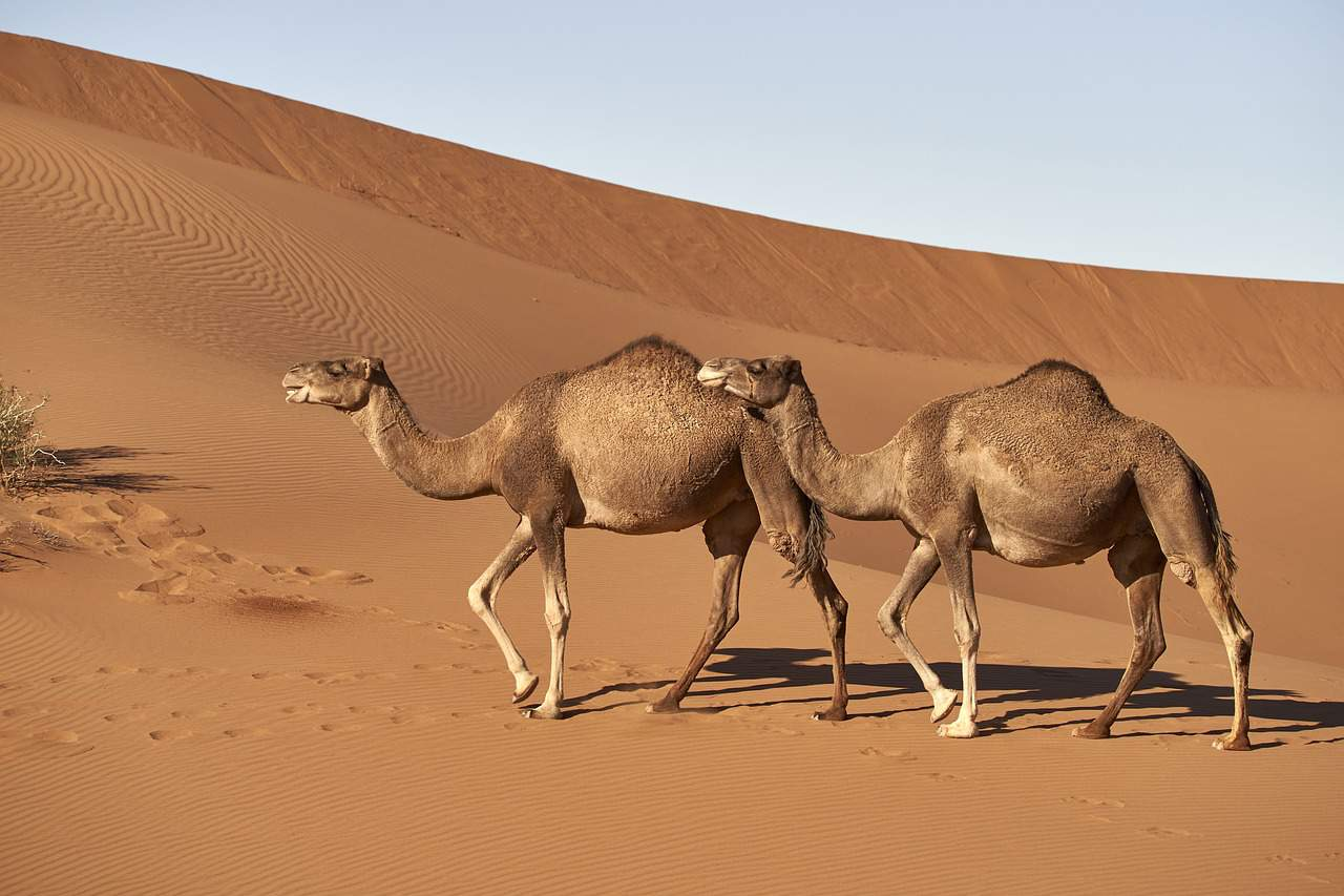 MERS-CoV from dromedary camels