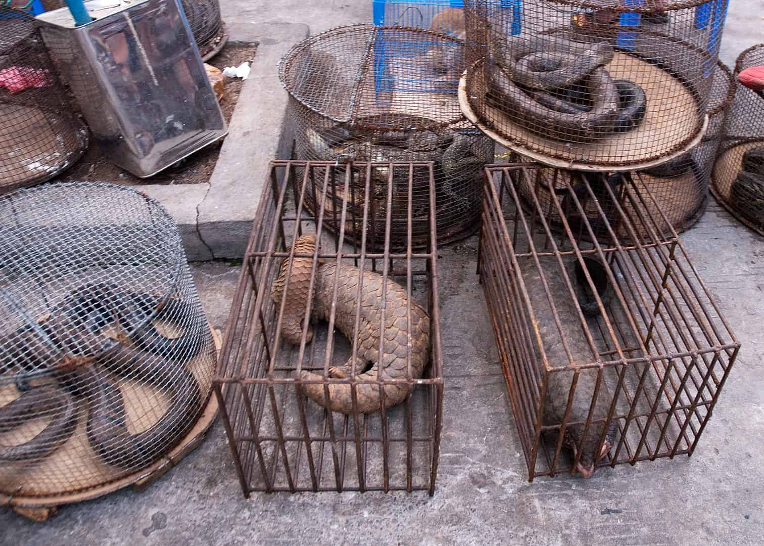 Pangolins cages awaiting to be sold illegally, pangolin facts