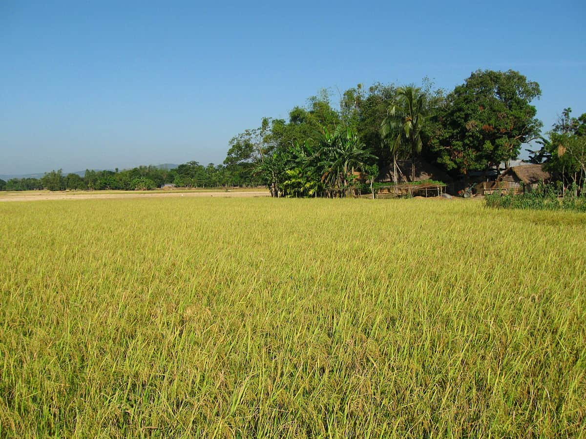 A field of rice, one staple crop that was a focus of the Green Revolution.
