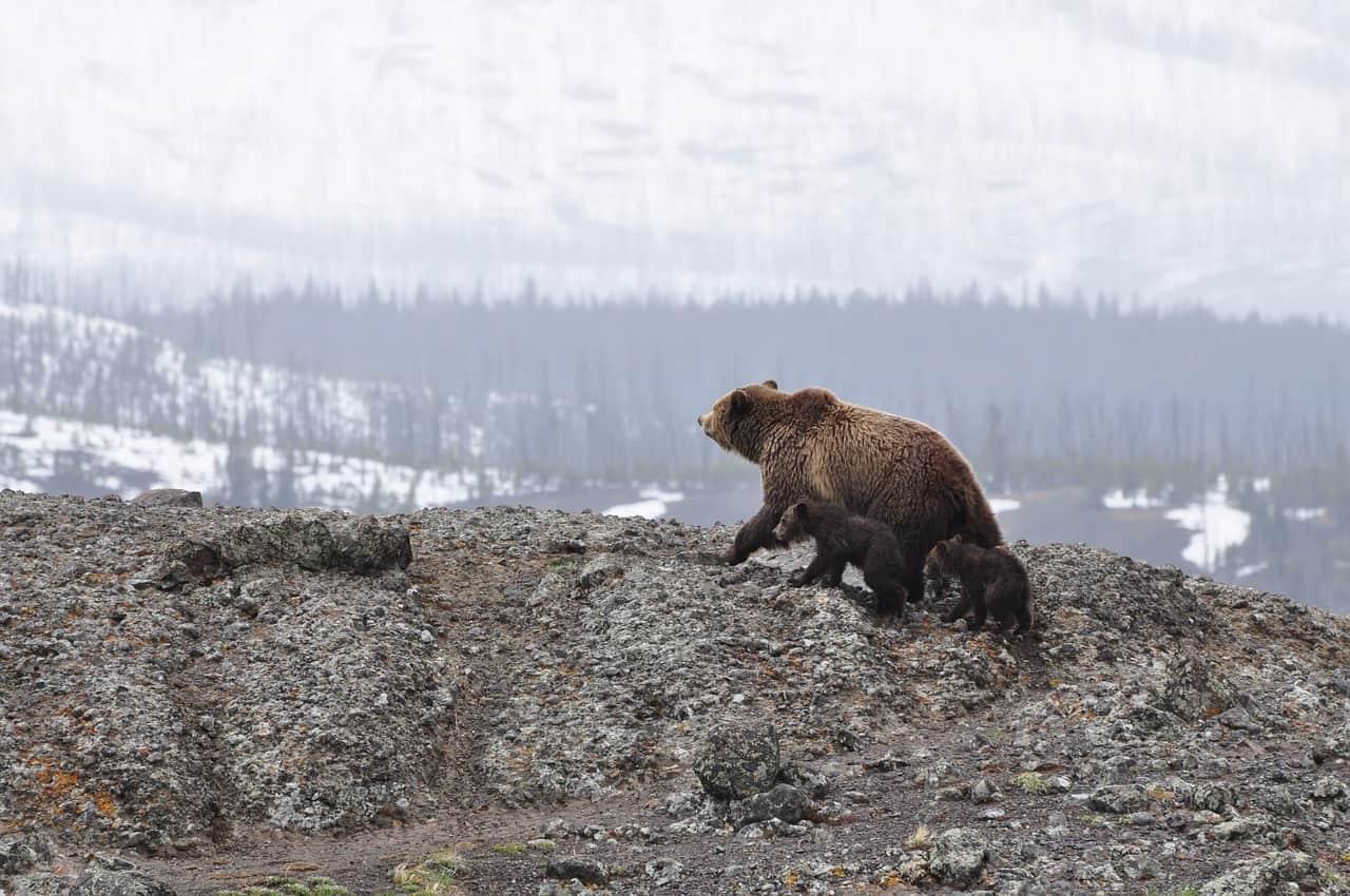bear, cub, mountain, alaska