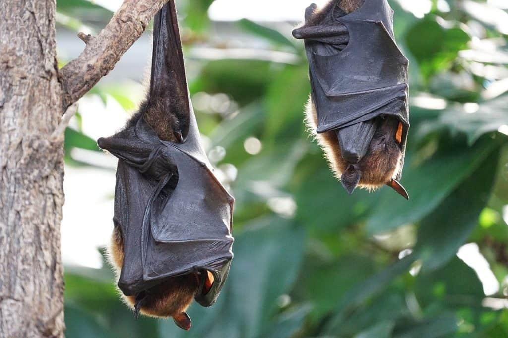 coronavirus from bats