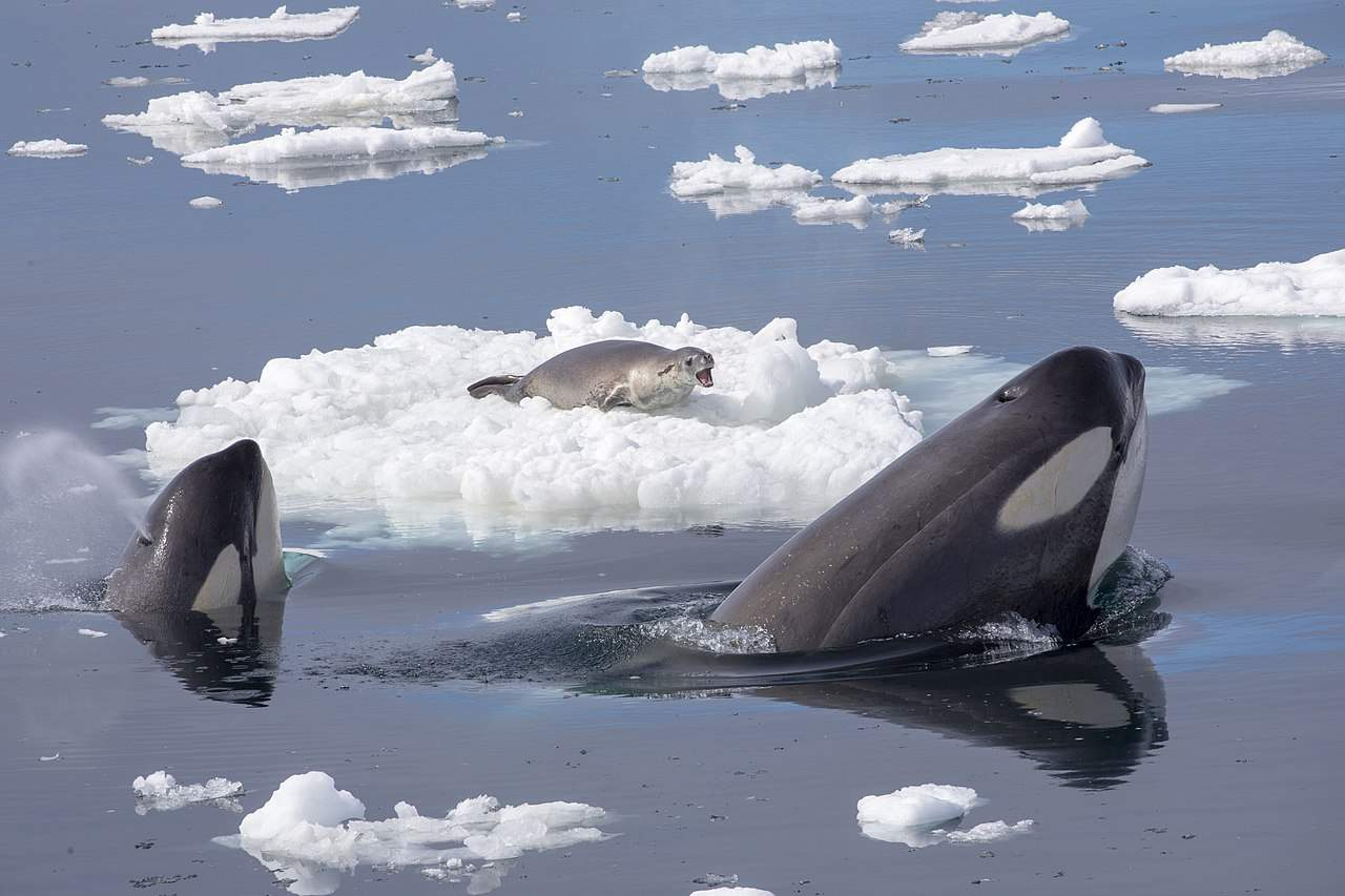 killer whales hunting a seal