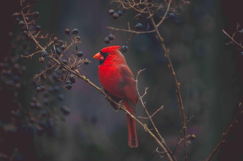 kentucky cardinal, kentucky facts