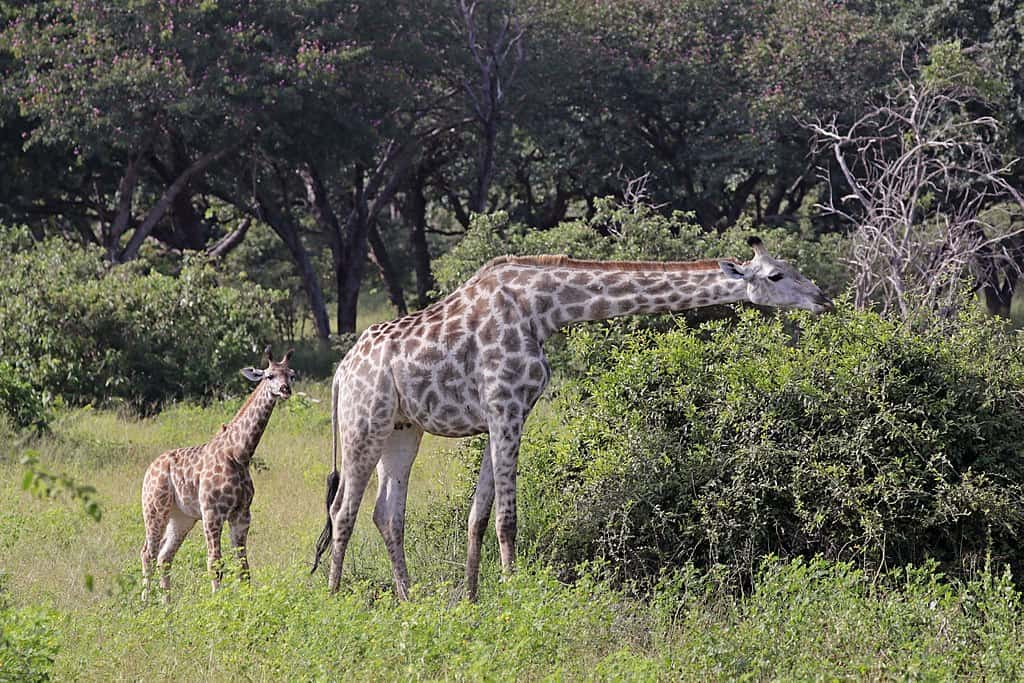 angolan giraffe, giraffe facts