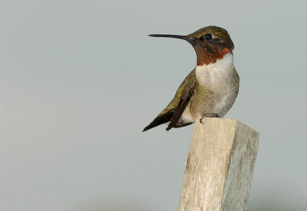 red-throated hummingbird, hummingbird facts