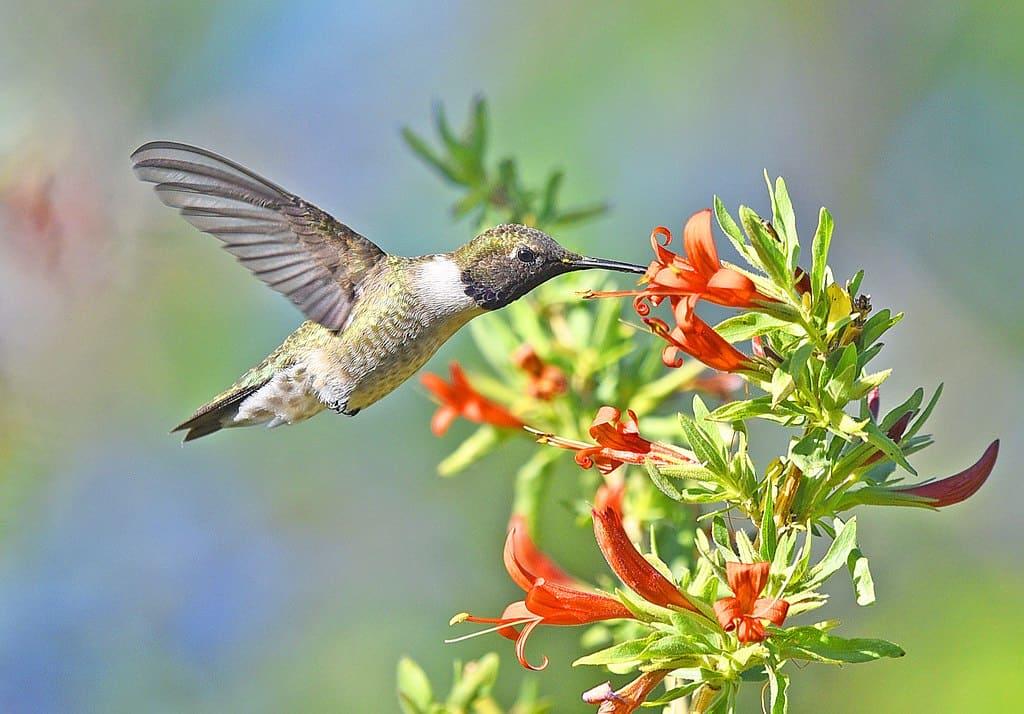 hummingbird facts, flower