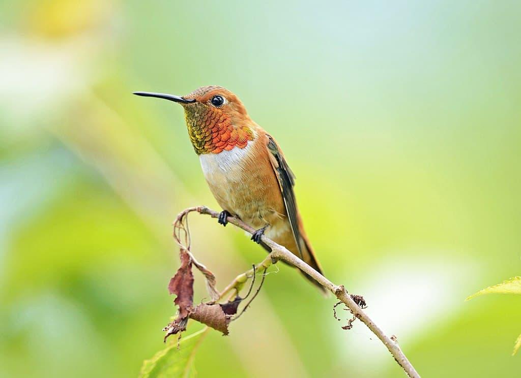 rufous hummingbird, hummingbird facts