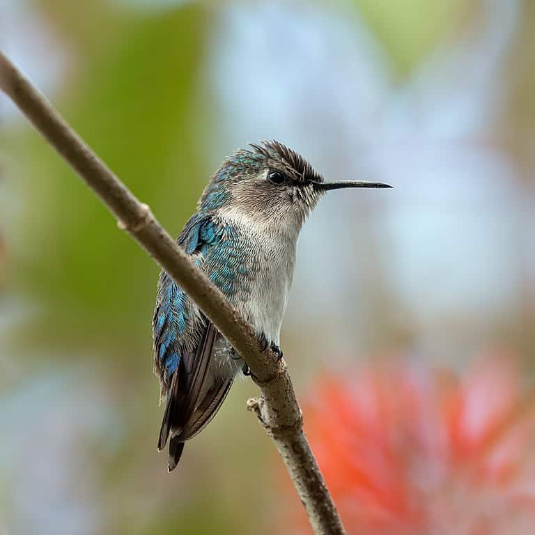 bee hummingbird, branch, hummingbird facts