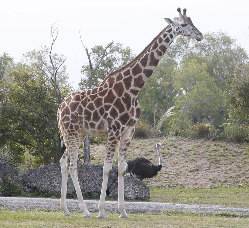 reticulated giraffe, giraffe facts