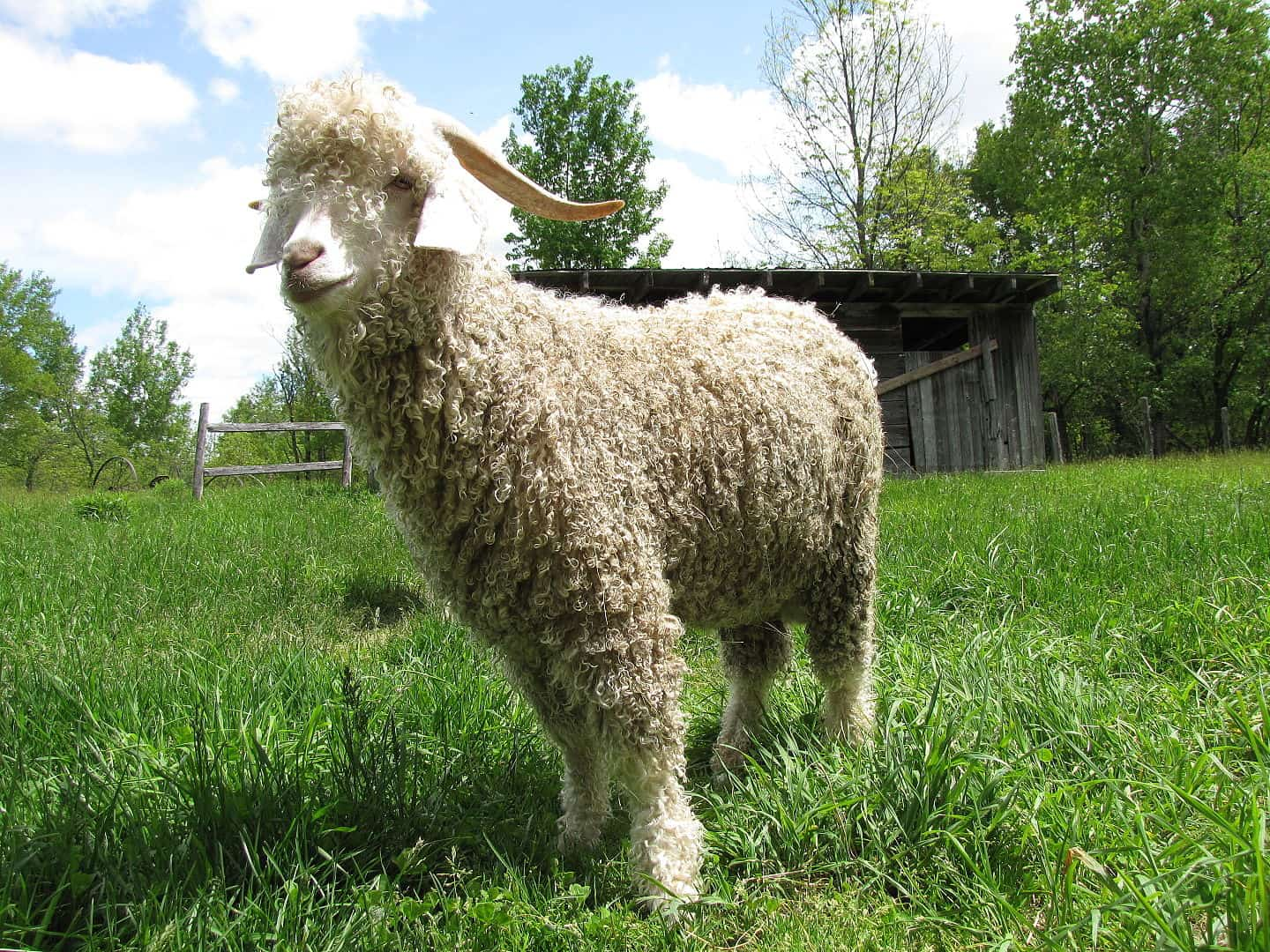 angora goat, gmo facts