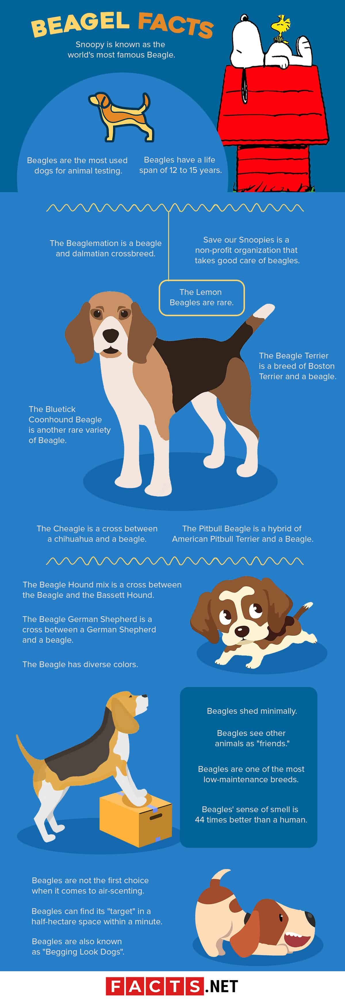 Beagle Facts Infographics