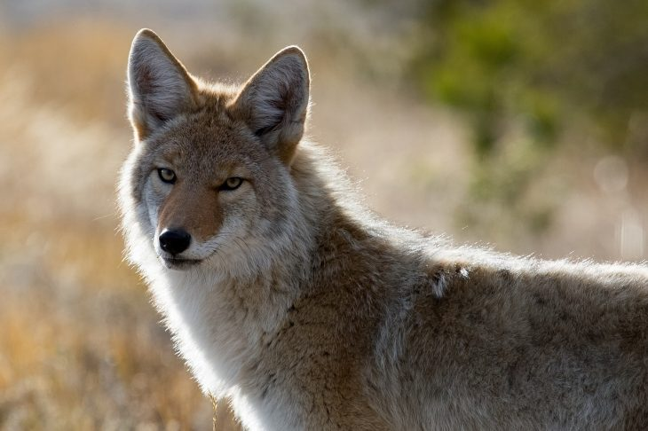 A coyote looks at the camera as a picture is taken.
