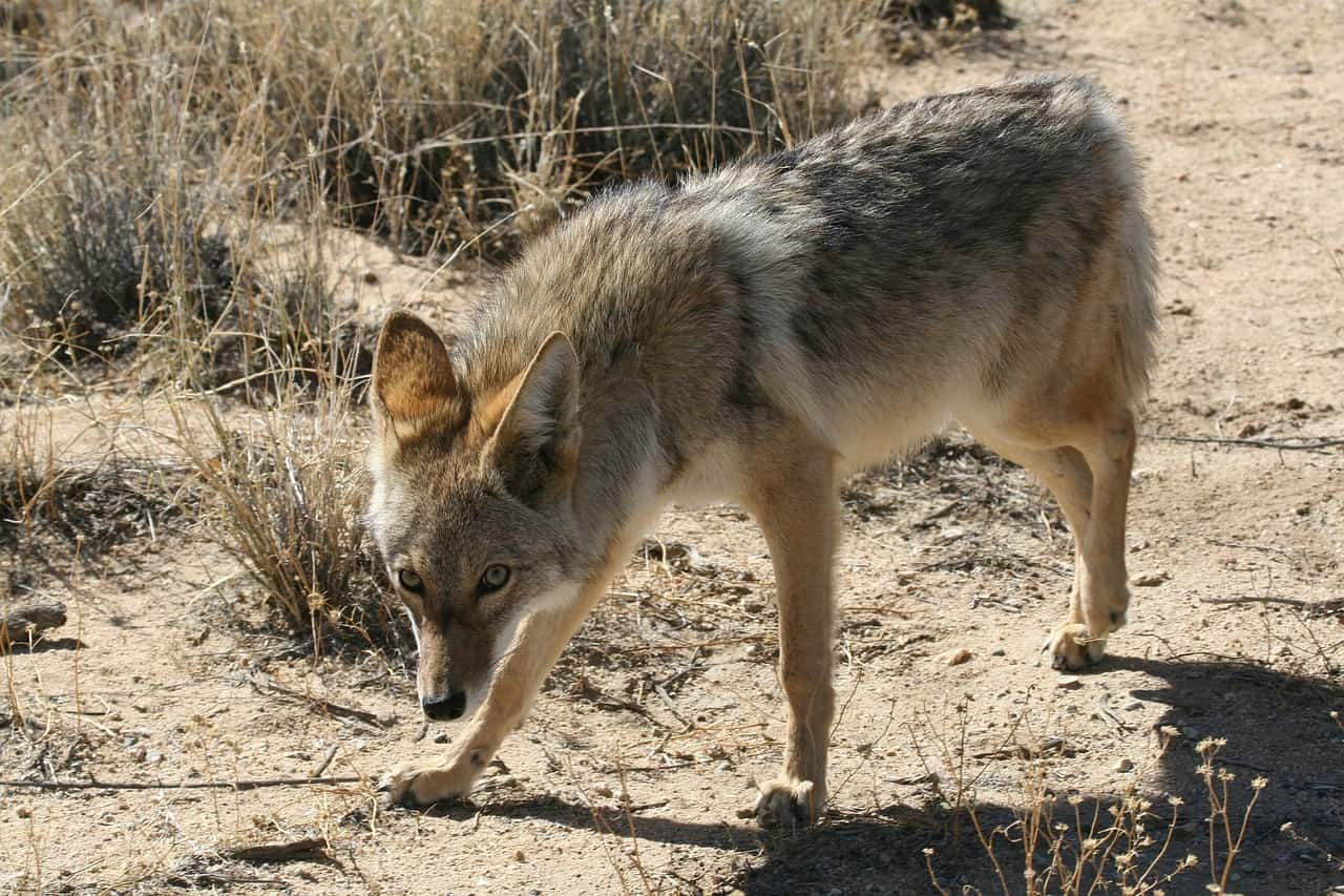 A light-furred coyote in the wild