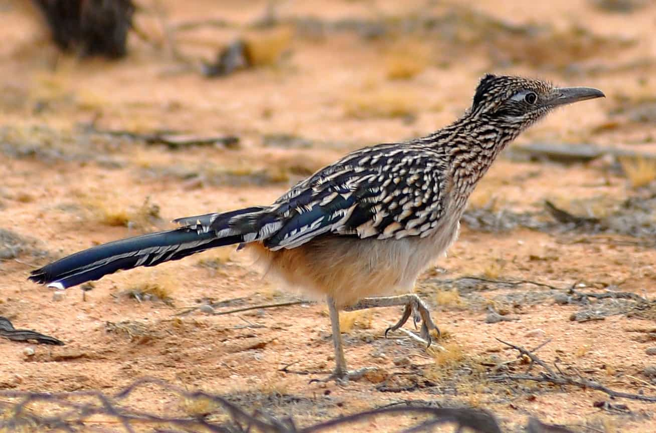 A roadrunner walking on the ground.