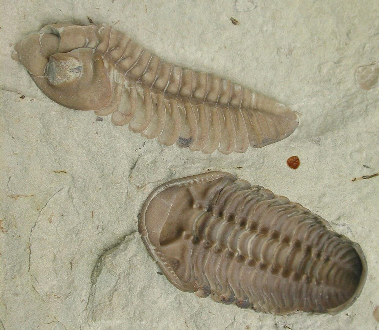 Trilobite fossils, of the kind which went extinct during the Great Dying.