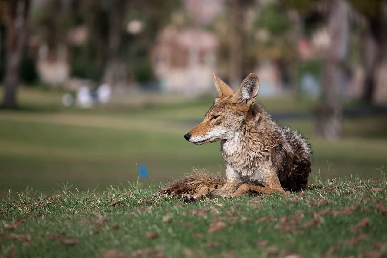 An urban coyote relaxing in Scottsdale, Arizona.