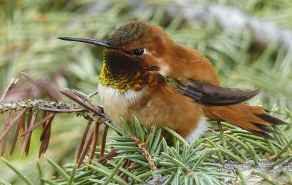 hummingbird, branch, hummingbird facts