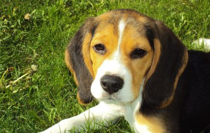 beagle, beagle facts