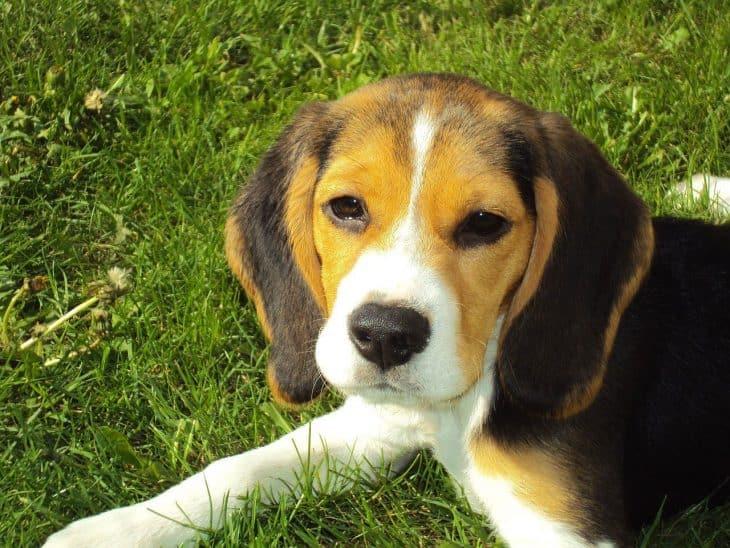 beagle, beagle facts
