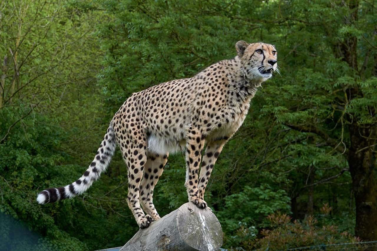 cheetah facts, animals facts
