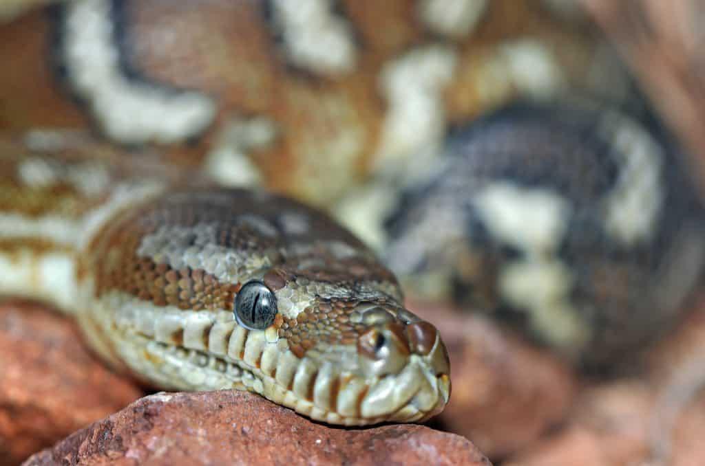 snake facts basking
