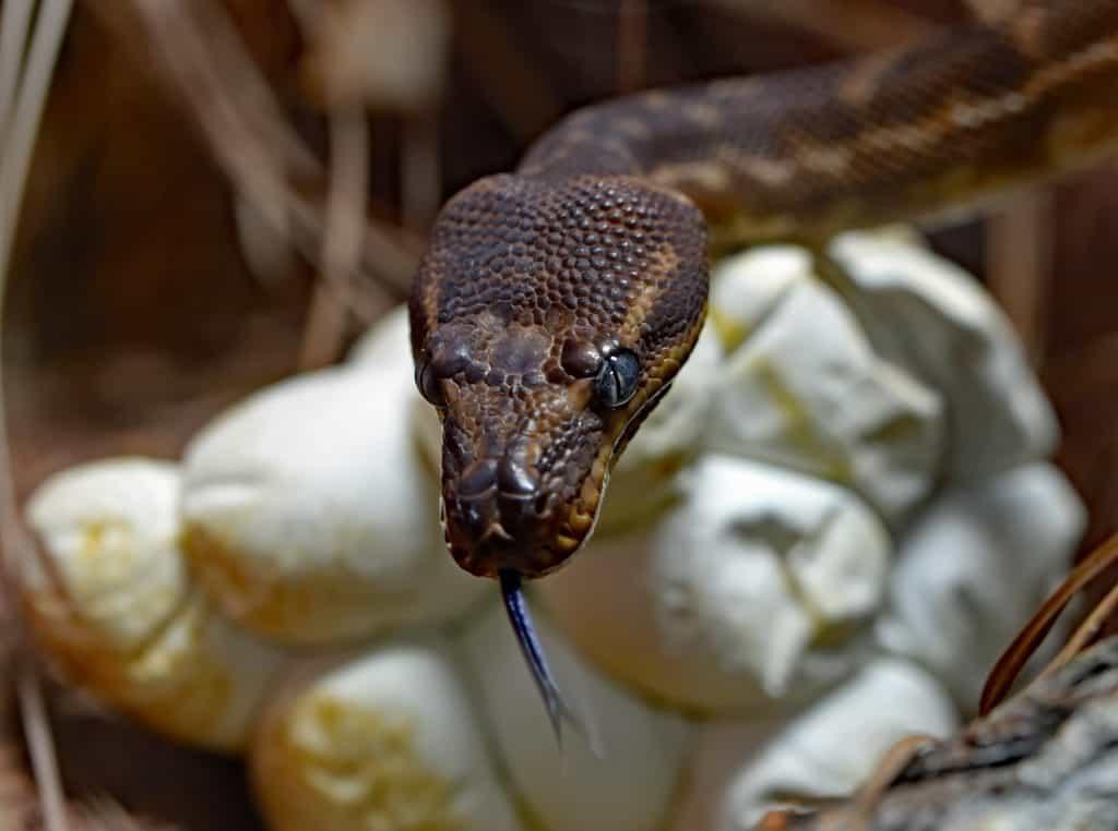 snake facts egg