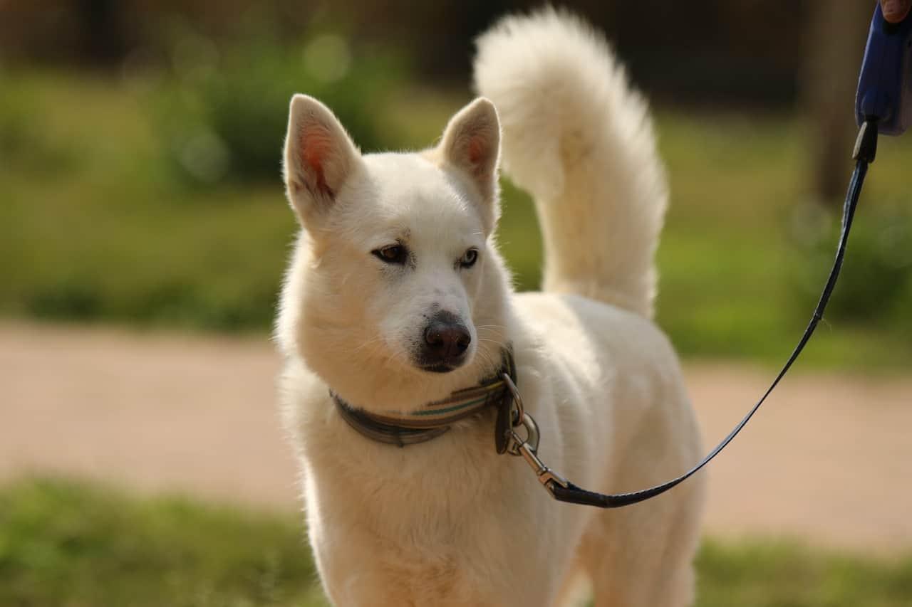 white husky, siberian husky facts