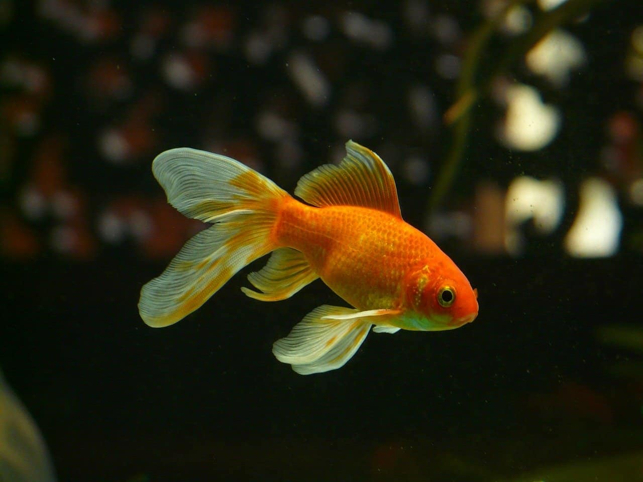 goldfish facts, animals facts