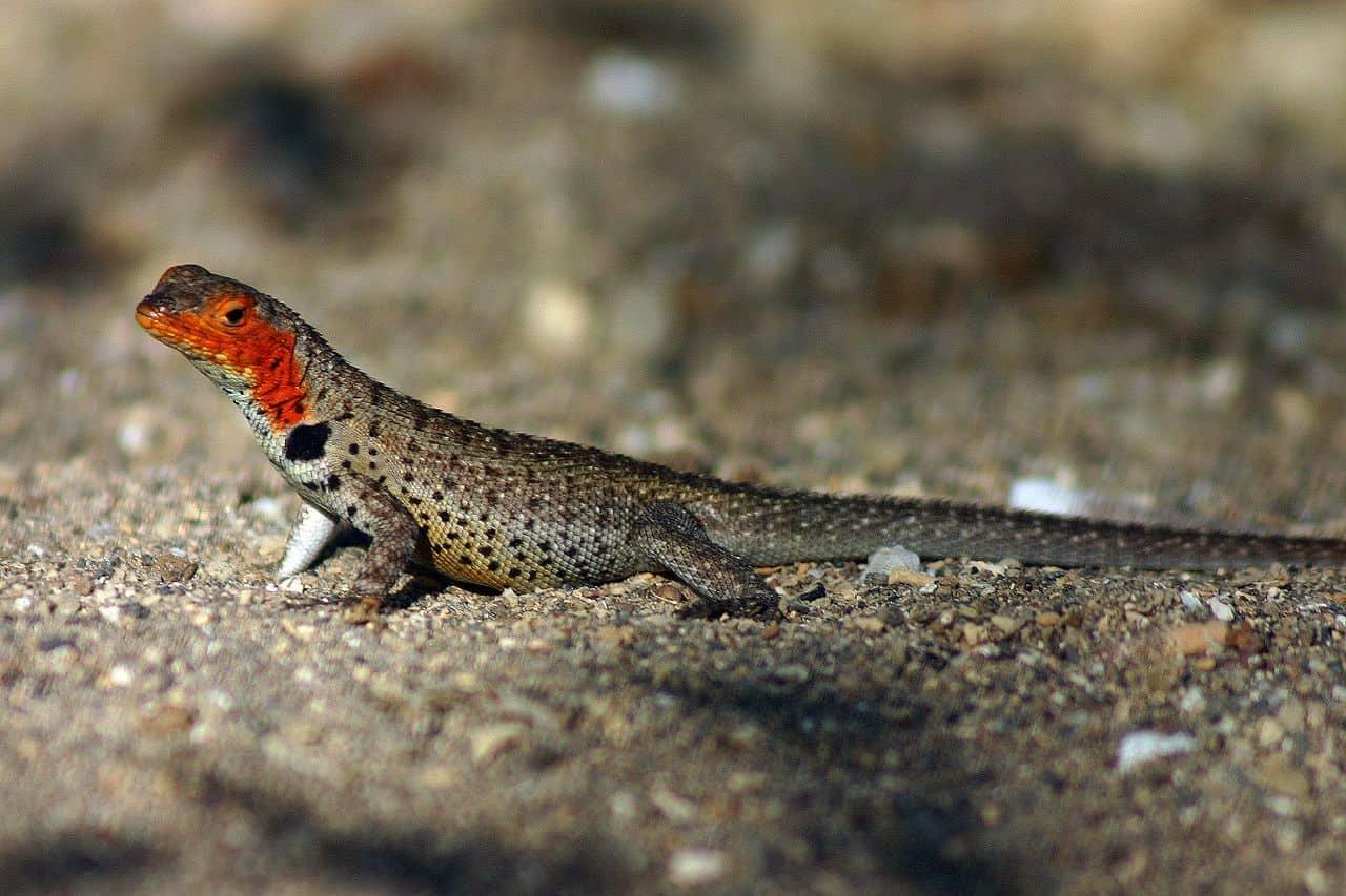 isla marchena lava lizard