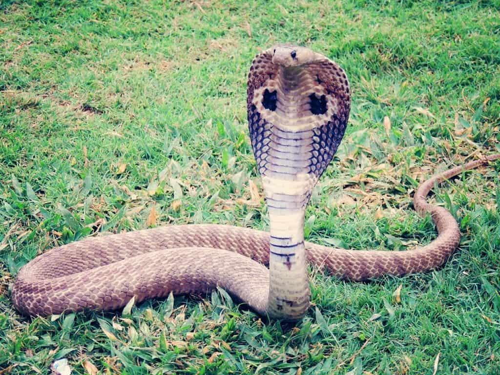 snake facts cobra