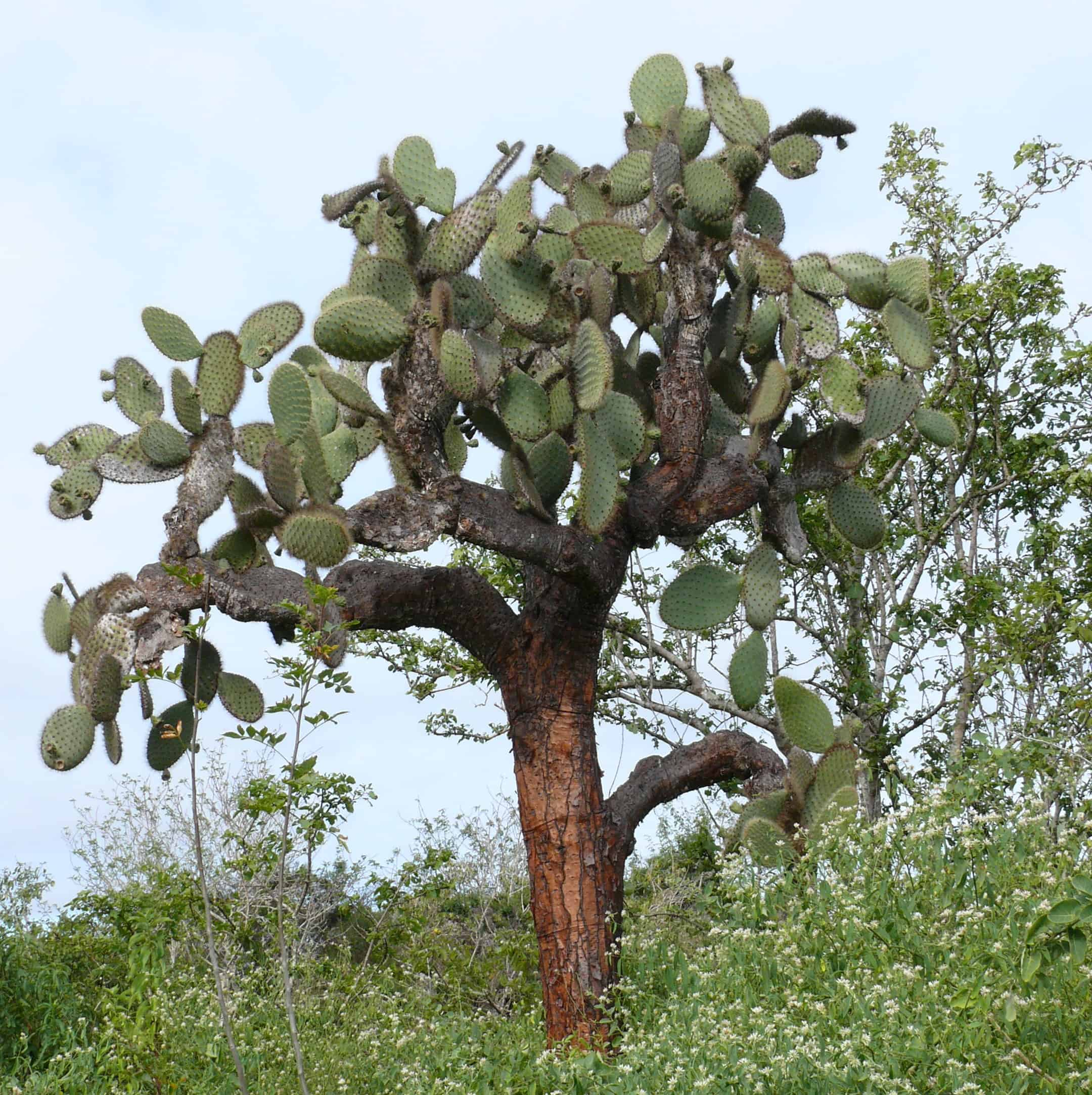 opuntia cactus in galapagos islands