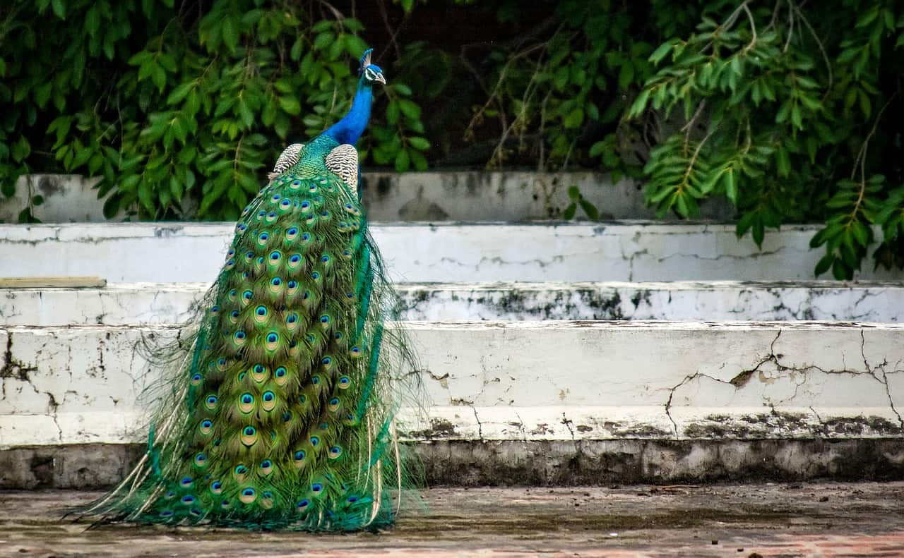 peacock facts, animals facts