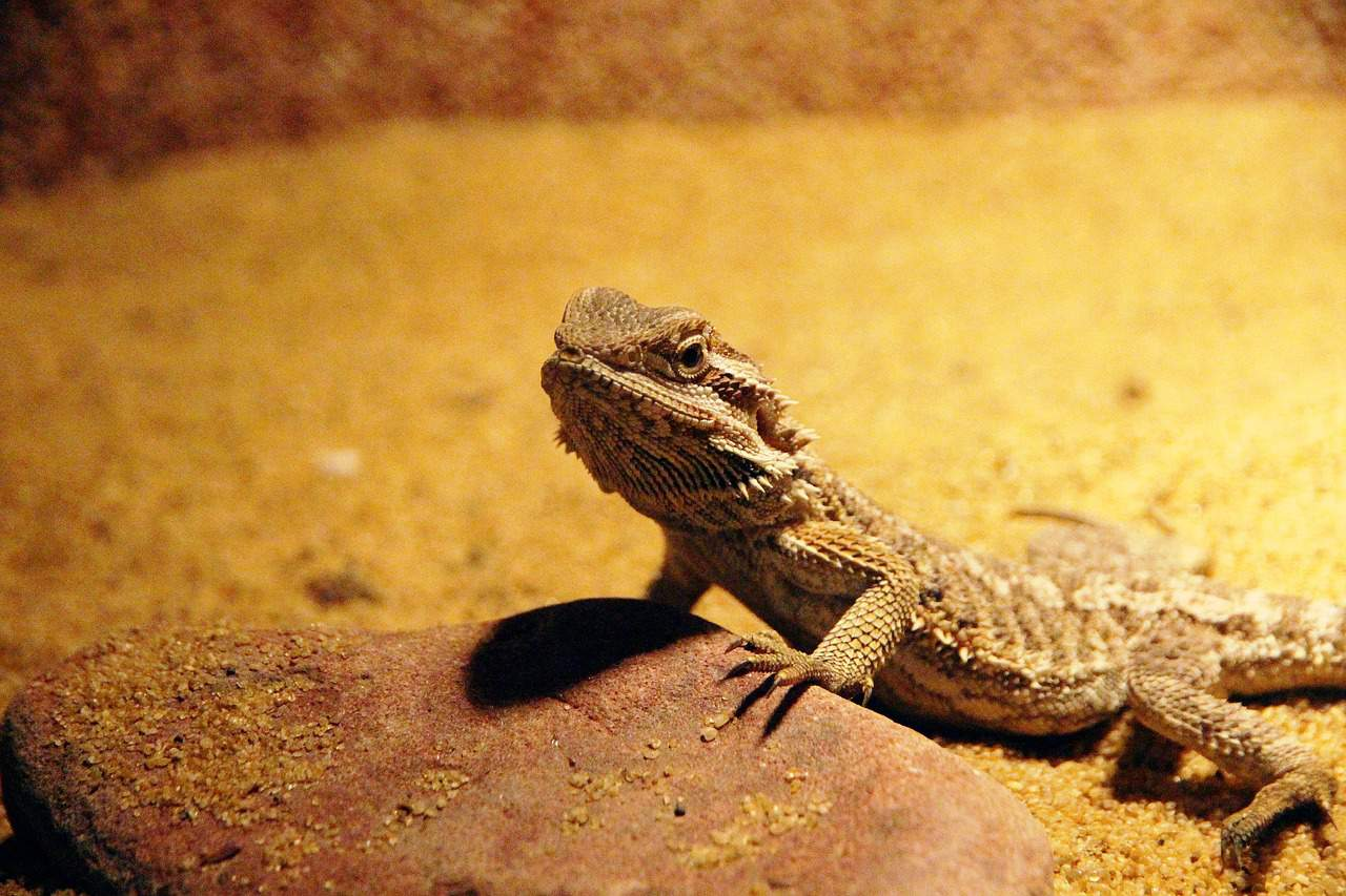 pet central bearded dragon in a terrarium, bearded dragon facts