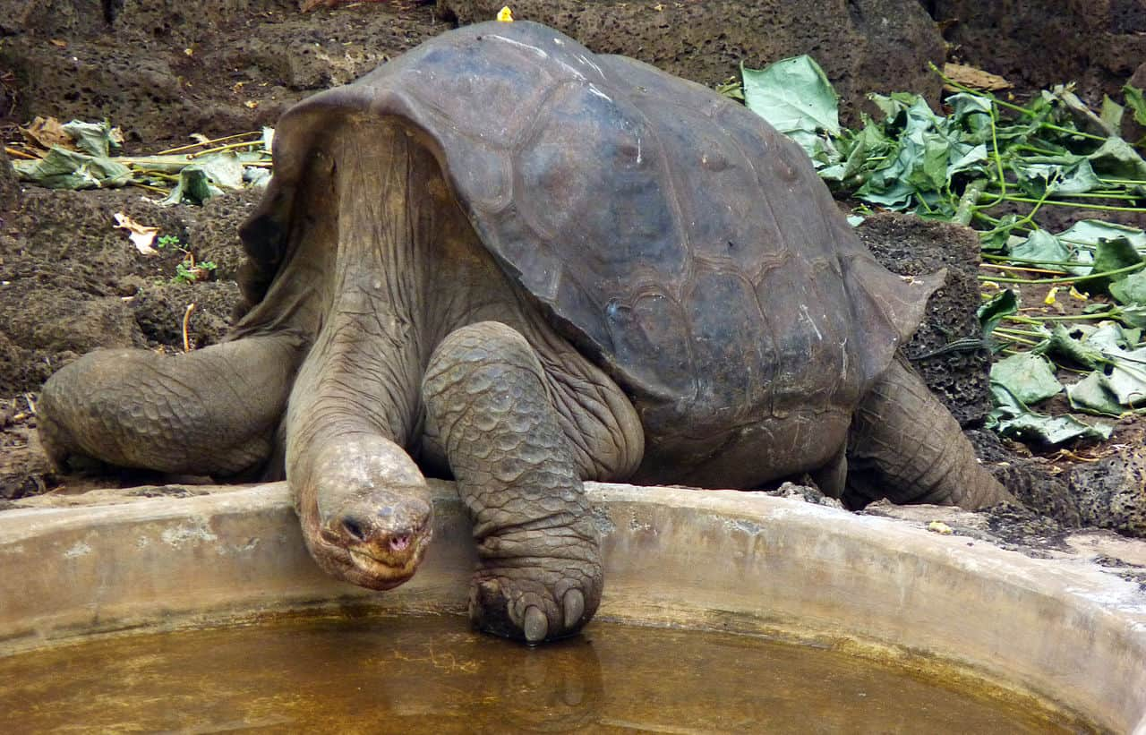 pinta tortoise, lonesome george