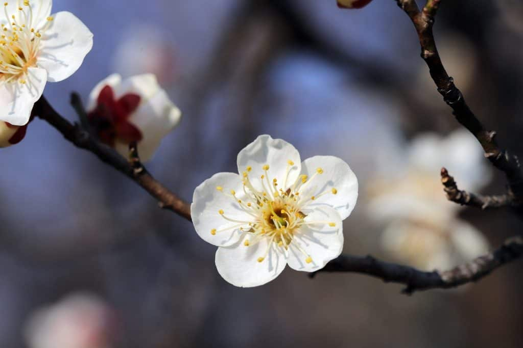 plum blossom wuhan