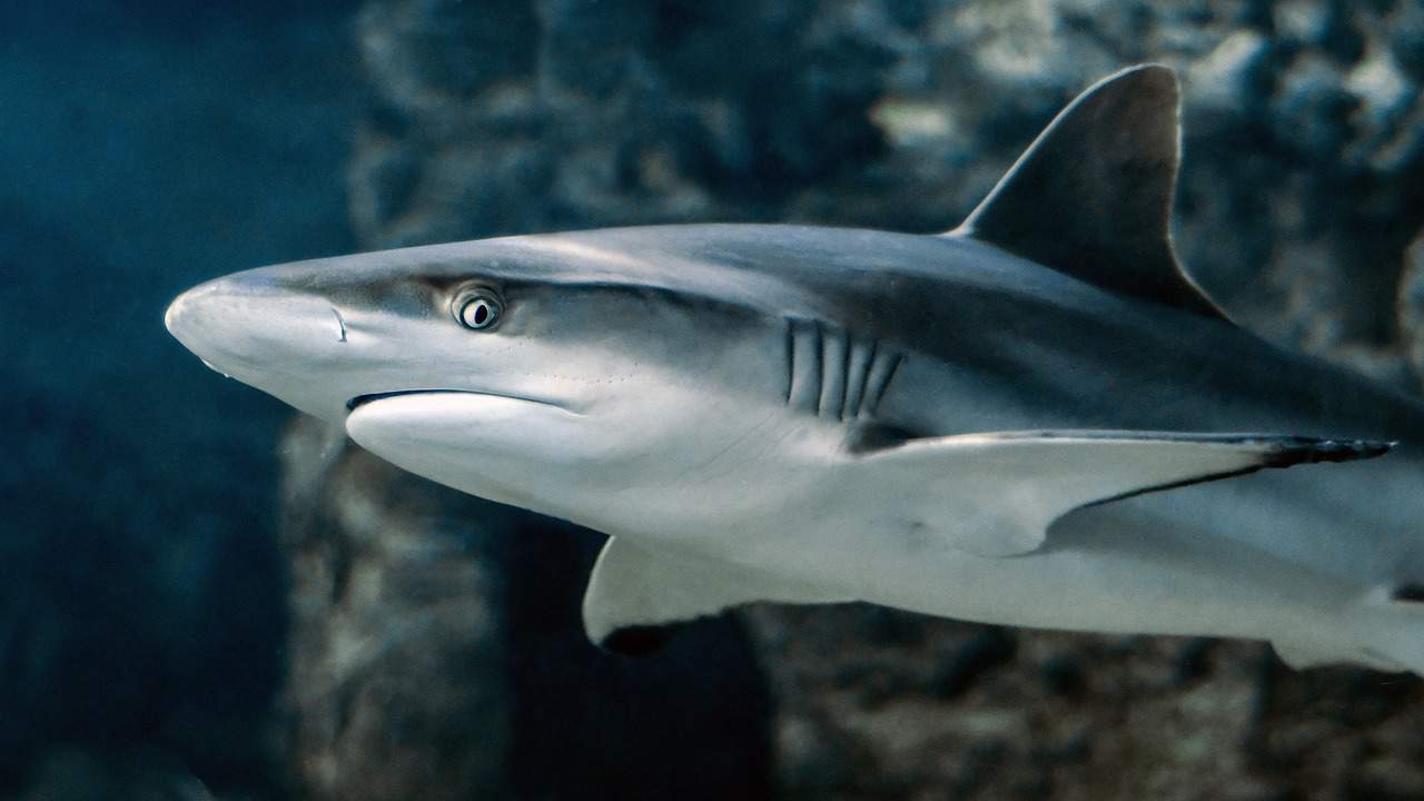 shark facts, animals facts
