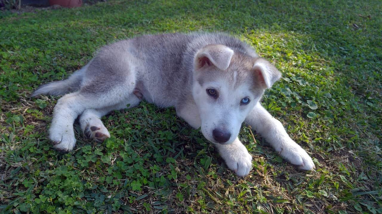 puppy, siberian husky facts