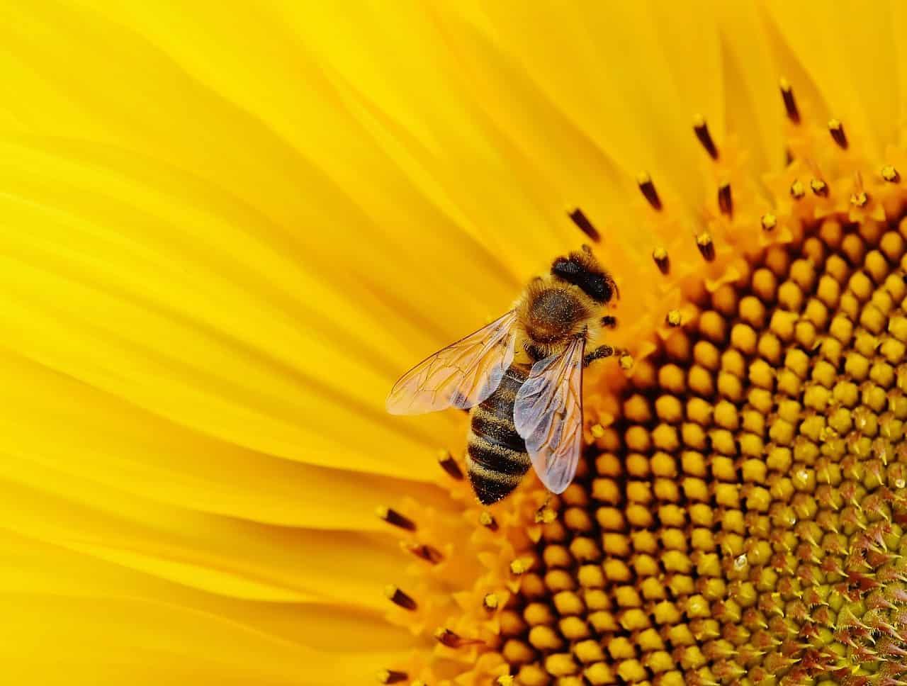 sunflower, bee, sunflower facts