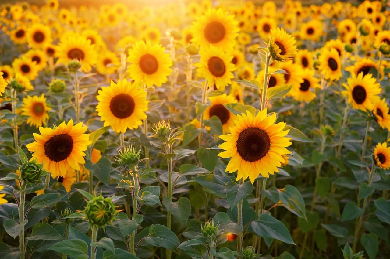 70 Interesting Sunflower Facts To Brighten Up Your Day | Facts.net