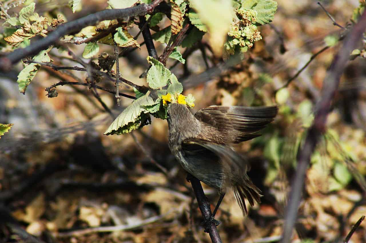 vampire finch in galapagos islands