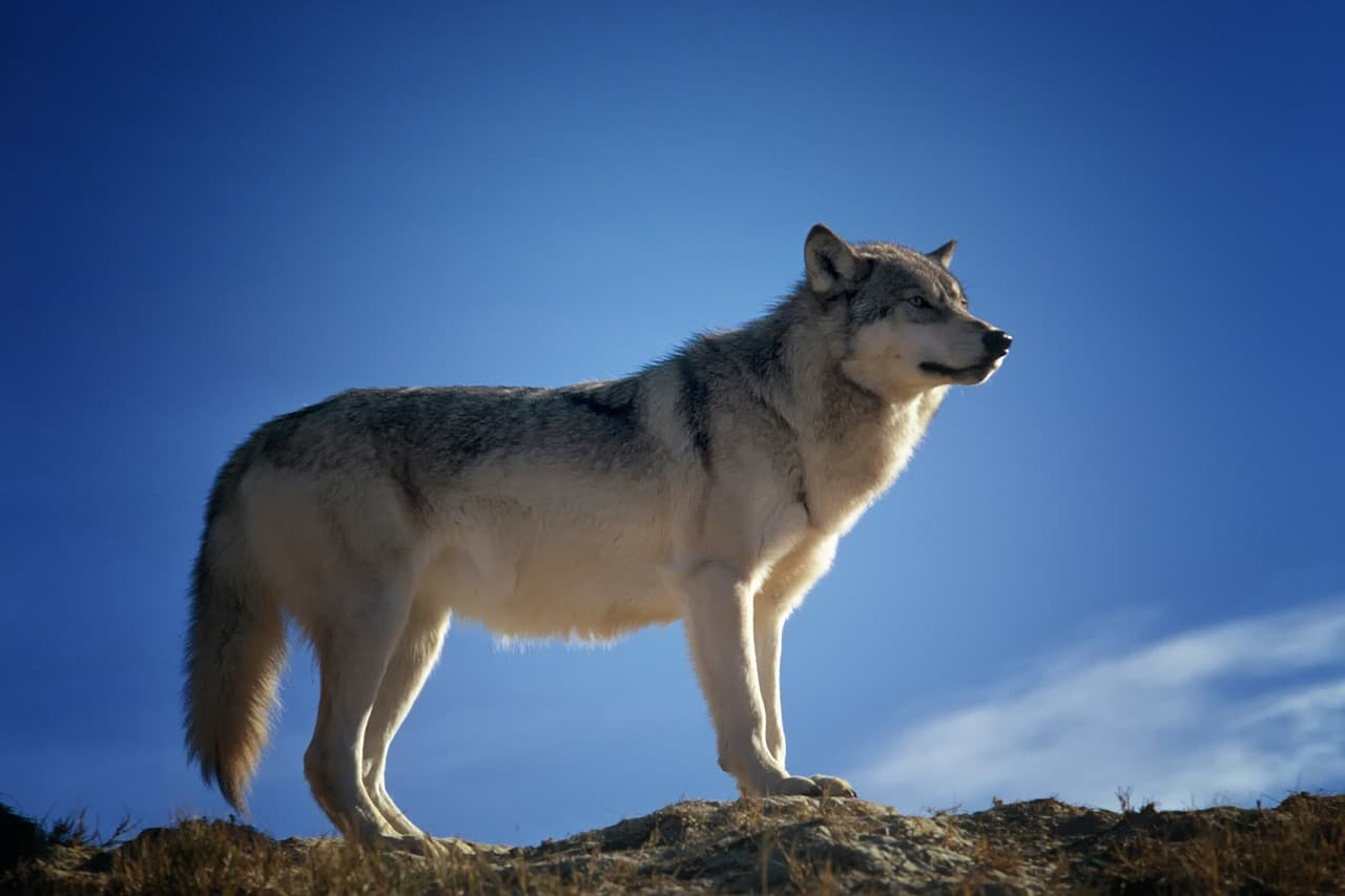 wolf, wolf facts