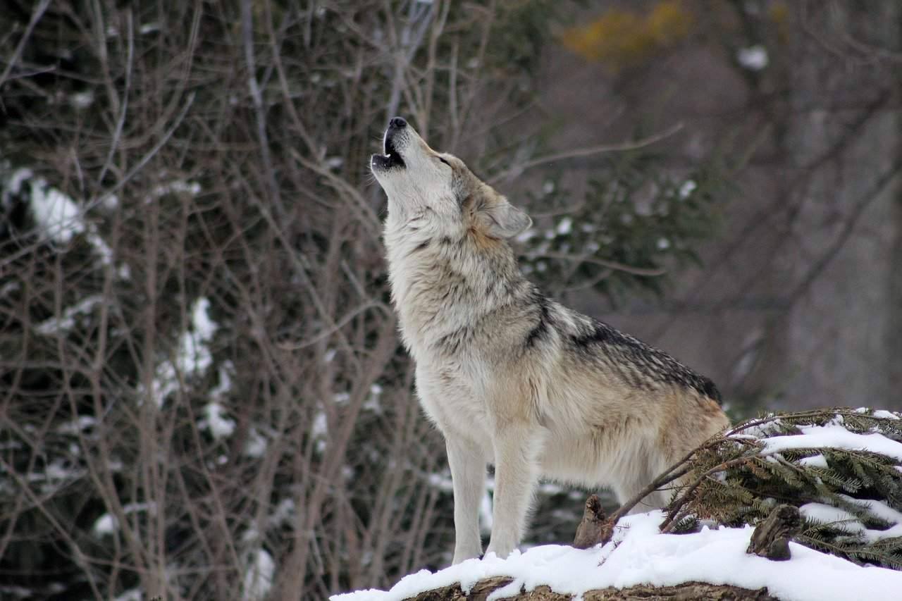 howl, wolf, wolf facts