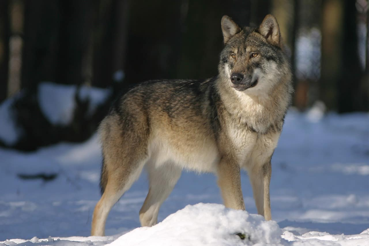 wolf facts, animals facts