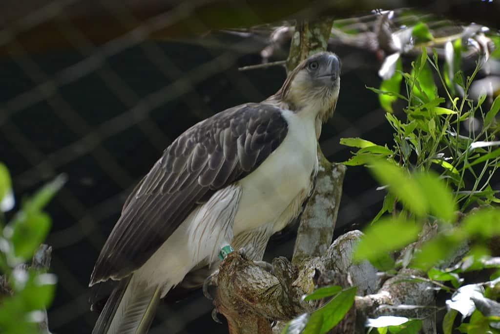 philippine eagle, eagle facts