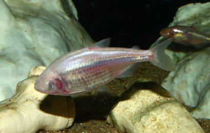 cavefish facts